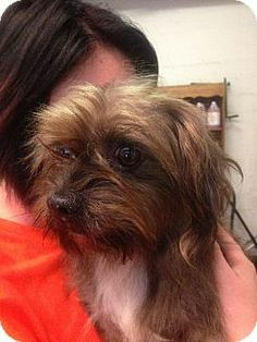 Columbia, TN - Shih Tzu/Terrier (Unknown Type, Medium) Mix. Meet Rasta AA a Dog for Adoption.