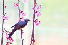 Cherry Blossoms and Brown-eared Bulbul : 桜とヒヨドリ | Toshihiro Gamo | Flickr