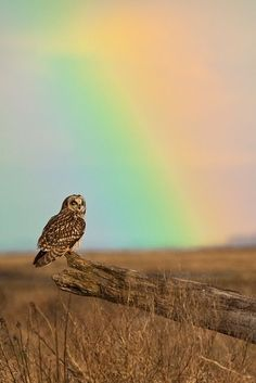 Owl under the rainbow by Zemberry
