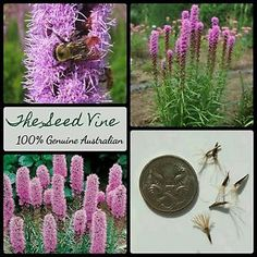 Dense Blazing Stars take roughly. Seeds should germinate after weeks. Dense Blazing Star is native to. Giant Flowers, Edible Flowers, Purple Flowers, Bamboo Seeds, Purple Wisteria, Balcony Flowers, Flowers Perennials, Flower Seeds, Garden Beds