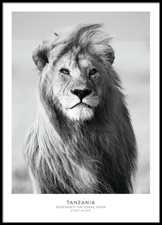 A beautiful black and white photo poster of a majestic lion. The lion's mane makes it look extremely powerful and impressive. However, all this is for show, as the lionesses do all the hunting. If necessary the lion will show his strength in a Black And White Lion, Black And White Posters, Animals Black And White, White Art, Poster Mural, Poster Prints, Art Prints, Modern Prints, Poster Wall