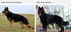 German Shepherds come in a variety of coat colors and patterns. Some coat colors are considered more rare and unique than others. Presented here is a list of all the coat types and colors for GSDs. German Shepherd Colors, Types Of German Shepherd, Types Of Coats, Alsatian, My Favorite Color, Puppies, Dogs, Animals, Black