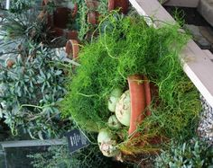 The climbing onion, Bowiea Sea Onion.  half potting soil and half sand. Good drainage as excess moisture can make the bulb rot.Stop watering completely when the stalks dry out after blooming in late summer. Water again when bulb re-sprouts. full, but sheltered, sun or partial shade. Excess heat will cause the bulb to callus over and become dormant, while consistent even warmth and moderate moisture will allow the plant to grow all year.