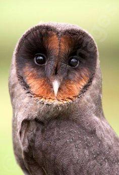 Melanistic Black Barn Owl (Tyto alba).