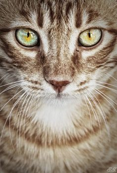 ♔ It's a cats world..................his eyes are deep #TabbyCat