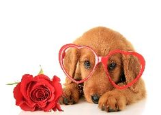 Photo about Irish Setter puppy wearing Valentine glasses next to a red rose. Image of irish, young, valentine - 64894171 Valentines Day Dog, Happy Valentines Day Images, Dog Wallpaper, Animal Wallpaper, Animals Images, Cute Animals, Puppy Crafts, Les Fables, Cute Dog Pictures