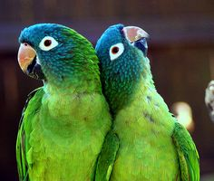 Blue crowned conures.