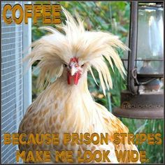 COFFEE: Because prison stripes make me look wide. Friday Coffee Quotes, Its Friday Quotes, Chicken Chick, Chicken Humor, Chicken Art, Coffee Wine, Coffee Drinks, Starbucks Coffee, Coffee Beans