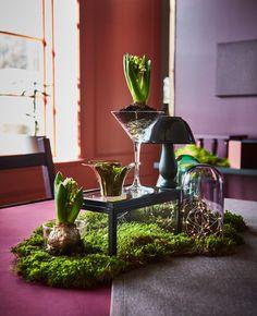 In der Mitte des Tisches befindet sich ein Bett aus Moos, darauf steht eine OKÄND Box aus Klarglas und Hyazinthenzwiebeln in Glasbehältern.