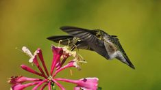 Vogel Gif, Hummingbirds, Beautiful Birds, Gifs, Nature, Cute, Animals, Flowers, Places