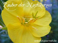 Von Pollenschlachten und falschen Kolibris - der Zauber der Nachtkerzenblüte