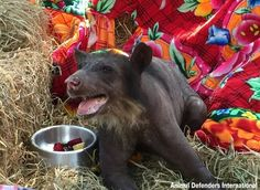 After Decades Of Abuse, Balding BearGets Happy Rescue