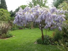 wisteria pruning like a tree - Google Search