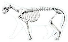 Skeletal/Muscular System - The Snow Leopard