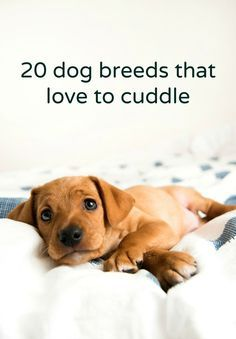 Cuddle up with our top 20 picks for dog breeds that like to snuggle. Cuddle up with our top 20 picks for dog breeds that like to snuggle. how to train your dog Best Dog Breeds, Best Dogs, Loyal Dog Breeds, I Love Dogs, Puppy Love, Cute Puppies, Cute Dogs, Animals And Pets, Cute Animals