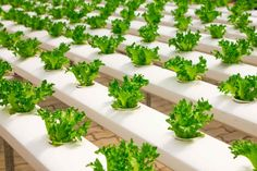 An all inclusive list (recipes included) of all of my favorite salads to make at home Hydroponic Farming, Hydroponic Growing, Hydroponics System, Growing Plants, Hydroponic Tomatoes, Indoor Aquaponics, Growing Veggies, Agriculture Verticale, Diy Hydroponik
