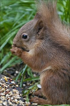 Red Squirrel At Mealtime