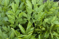 Splitting Lovage Herbs: Tips For Lovage Plant Division Organic Gardening, Herbs, Plants, Organic Gardening Tips, Propagating Plants, Medicinal Plants, Planting Herbs, Easy Garden, Leafy Plants