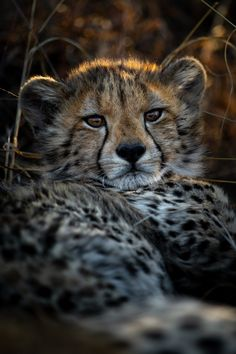 Photograph by Ross Couper Cheetah Cubs, Young Animal, Big Cats, Panther, Wildlife, Cute, Image, Photograph, Animales
