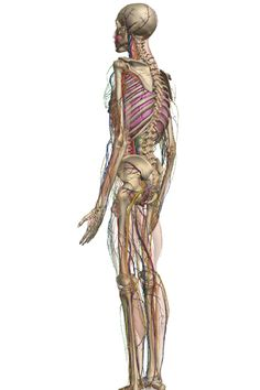 Really cool.  Free 3-D human anatomy site from Google.  This is a link to a blog post about it from Pioneer Woman.