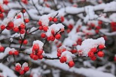 Native Plant For Late Fall- Winterberry Holly
