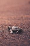 Sky Waves — lsleofskye:   Baby Turtle