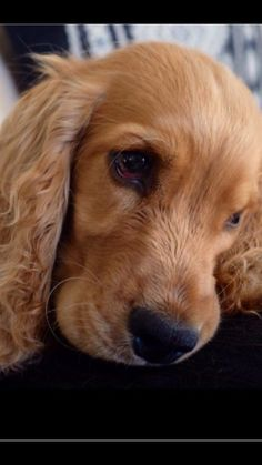My beautiful gentle cocker spaniel Kaya Spaniel Breeds, Spaniel Puppies, Dog Breeds, Golden Cocker Spaniel, American Cocker Spaniel, Beautiful Dogs, Animals Beautiful, Cute Animals, Pet Dogs