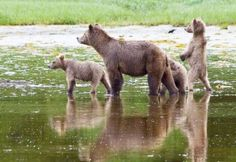 Day Trips to see the grizzly bears in Knight Inlet. Baby Panda Bears, Baby Pandas, Siberian Tiger, Tree Frogs, African Elephant, Cute Baby Animals, Wild Animals, Vancouver Island, Snow Leopard