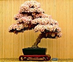 Bonsai are beautiful enough as they are. But did you know you can easily grow flowering bonsai that pack a punch? Check out our suggestion of 21 flowering bonsai you can grow. There's a flowering bonsai for every skill level!