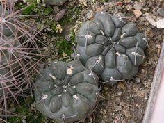 Gymnocalycium dubniorum, Puerto Madryn