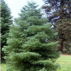 Cryptomeria japonica 'Elegans Group' Evergreen Garden, Group, Plants, Outdoor, Image, Outdoors, Plant, Outdoor Games, The Great Outdoors
