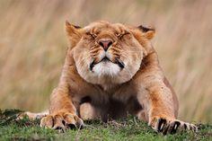 Wildlife Photographer of the Year: Diese Tierbilder sind atemberaubend Beautiful Creatures, Animals Beautiful, Cute Animals, Animals Dog, Funny Animals, Wildlife Fotografie, Safari Photo, Lions Photos, Photo Animaliere