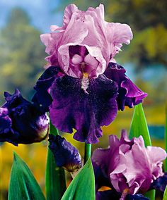 Bearded Iris 'Blue Bird Wine' ~ Plants from Bakker Spalding Garden Company Iris Flowers, Bulb Flowers, Exotic Flowers, Amazing Flowers, Purple Flowers, Planting Flowers, Beautiful Flowers, Decoration Plante, Iris Garden