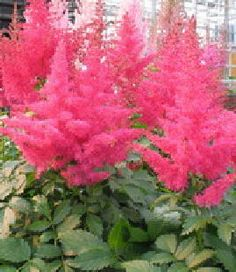"""Astilbe 'Drum & Bass'  Fluffy spikes of bright pink on ferny foliage blooming in June and July.  The flower heads last longer if they are planted to avoid the afternoon sun.  Full shade to partial sun. A great plant for color and texture in the shade garden!  Large, bright green foliage. 18-24"""" tall, spread 18-24"""". Great for containers."""
