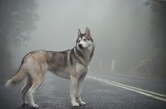 Husky on his own