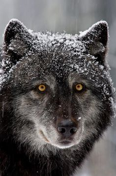 """This captive timber wolf gives me a good look during a rare snow storm.Image captured in North Vancouver, BC."" by Henrik Nilsson. - ""I'm saddened to note the photographer mentions that the wolf is captive"" MAD Beautiful Creatures, Animals Beautiful, Cute Animals, Wild Animals, Baby Animals, Tier Wolf, Wolf Hybrid, Wolf Love, Wolf Spirit"