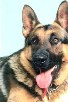 German Shepherds; take my advice they are beautiful dogs but if you want one make sure you are going to give it all your time and devotion