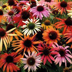 Echinacea x hybrida 'Magic Box' Coneflower  Flowers July-Sept. Full sun.         Hardy Perennial