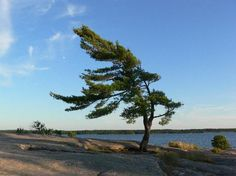 loved camping here best park Killbear park Pine Tattoo, Picture Tree, Arm Art, Rocky Shore, Lone Tree, Landscape Paintings, Tree Paintings, Places Of Interest, Ciel
