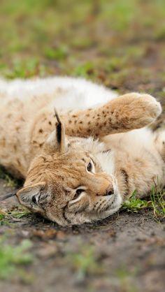 Lynx Cat Cub