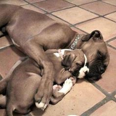 Cute Boxer Puppy - A Place to Love Dogs Boxer love. - Visit our website now! I love my mommie! Boxer And Baby, Boxer Love, Cute Boxer Puppies, Dogs And Puppies, Doggies, I Love Dogs, Cute Dogs, Awesome Dogs, Funny Animals