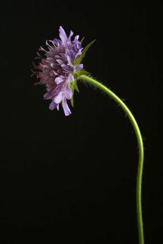'Witwenblume' von Heidrun Lutz bei artflakes.com als Poster oder Kunstdruck $18.03 #skabiose
