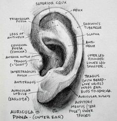 Everything about the ear I *didn't* learn in Figure Drawing Anatomy