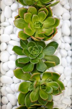 Succulent garden with white rocks, so pretty