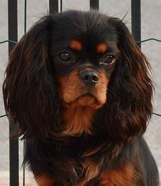 Cavalier King Charles Spaniel.  Go to www.YourTravelVideos.com or just click on photo for home videos and much more on sites like this.
