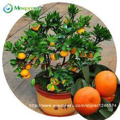 30 sztuk Mandarynki Owoców Drzewa Bonsai Nasiona Jadalne, Nasiona Bonsai nasion Citrus Mandarin Pomarańczowy
