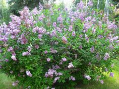 Our two lilac bushes are blooming this year like they haven't in years. It's kind of like they enjoyed us leaving them alone.