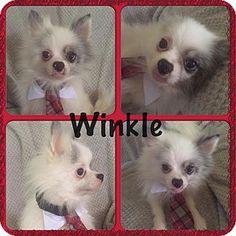 ST LOUIS, MO - Pomeranian Mix. Meet Winkle, a dog for adoption. http://www.adoptapet.com/pet/16540627-st-louis-missouri-pomeranian-mix