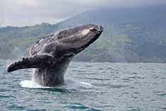 ... ocean: whale watching in Costa Rica's Osa Peninsula and Golfo Dulce