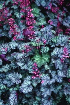 This sister seedling to the Oliver's popular Heuchera 'Silver Scrolls' bears lovely silvery foliage with dark purple veins and a dark burgundy overlay. Each vigorous wide clump is topped in late spring with tall spikes of large pink flowers. Fall Flowers, Colorful Flowers, Pink Flowers, Le Baobab, Rabbit Resistant Plants, Growing Raspberries, Small Balcony Garden, Coral Bells, Palmiers